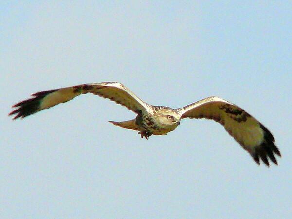 【天】空を飛ぶ猛禽