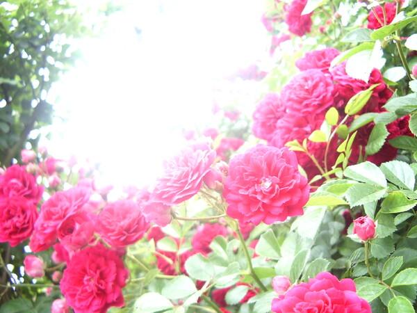 家庭菜園のバラ