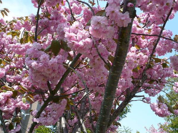 5月の八重桜