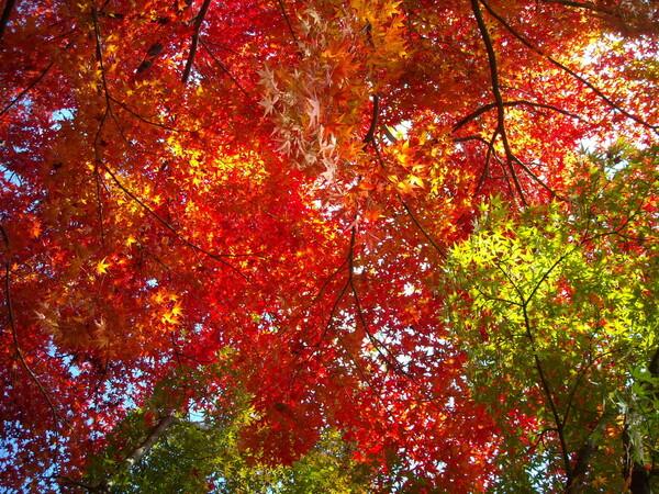 下から見た紅葉