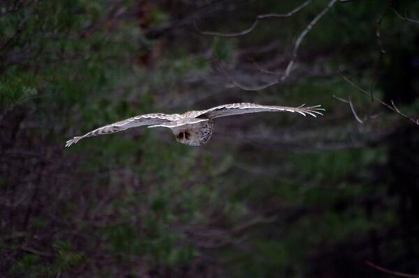 フクロウの狩り-その3
