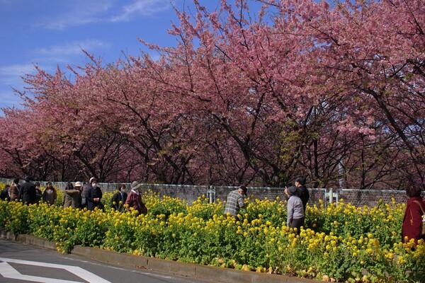 【春景】河津桜