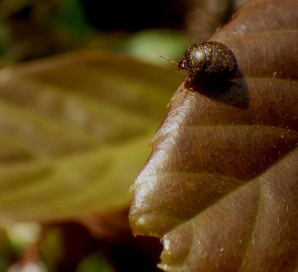 極小さい甲虫