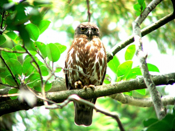 夏の鳥(3)アオバズク