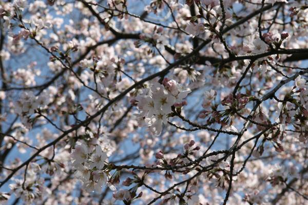 eosの桜