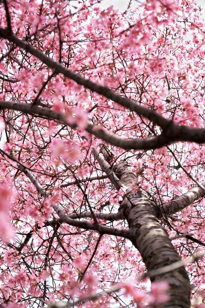 「ザ・ワールド」満点の桜