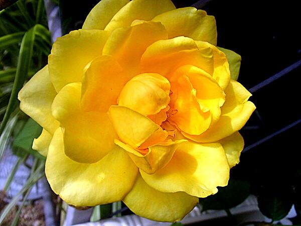 黄色いミニバラのUP