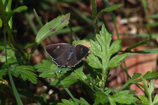 ヒロオビミドリシジミ ♀の開翅