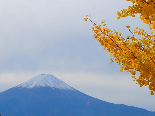 【秋】富士といちょう