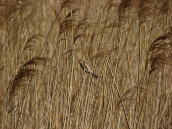 葦原でオオジュリン