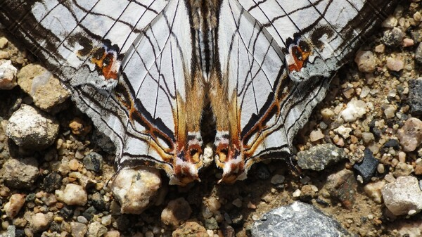 蝶の表翅一部分の模様