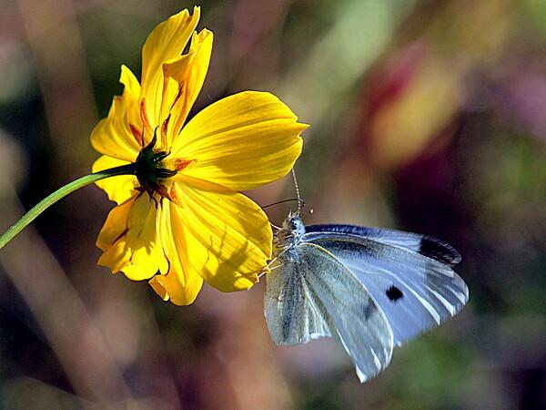 古いカメラで蝶を撮りました。 1