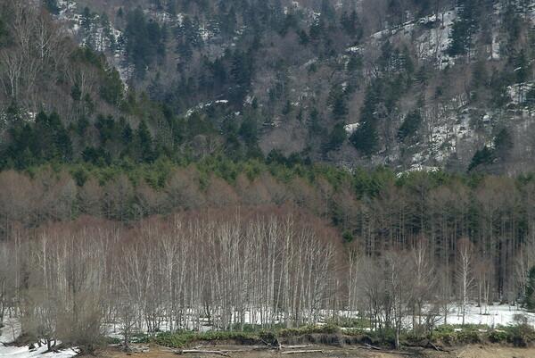 早春の林の色
