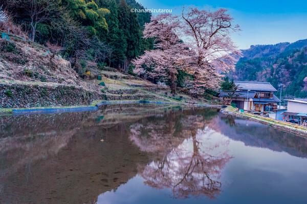 【情景】苗代桜