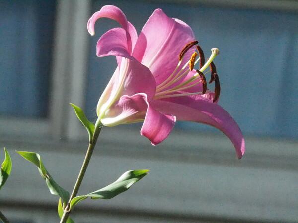 百合の花UP