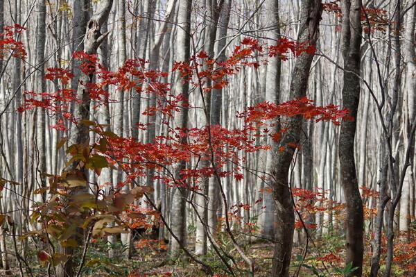 白いブナ林と紅葉