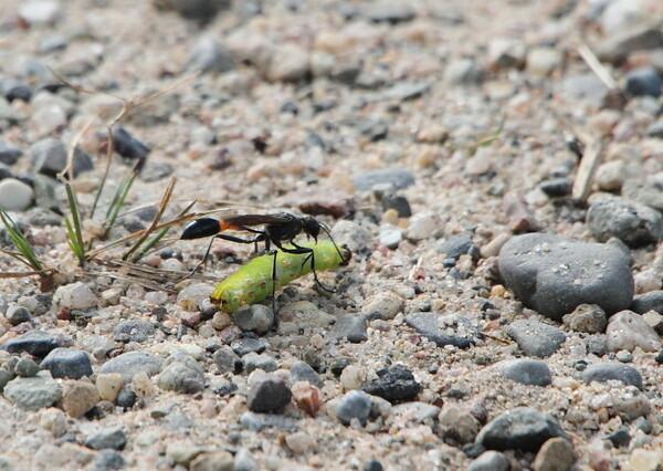 地面すれすれに飛ぶハチ?