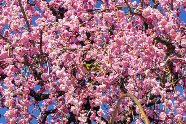 【春景】梅とメジロ