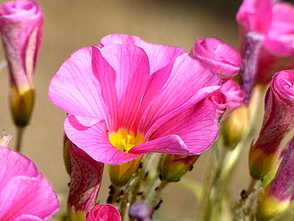 庭のオキザリス 4