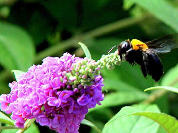 ブッドレアにクマバチが