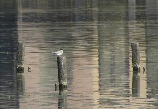 瓢湖でも見られるコアジサシ
