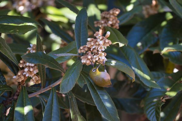 枇杷の花にメジロ