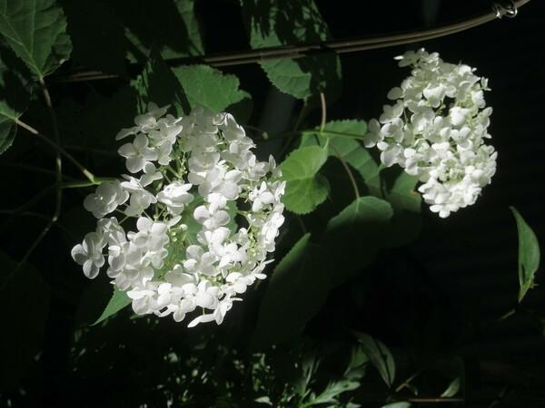アナベル、白い小花紫陽花