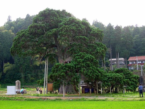 上戸の倒杉(うえどのさかさすぎ)