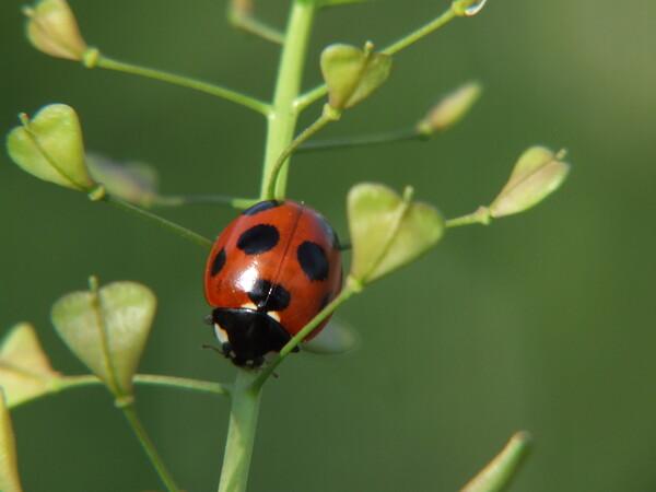 菜の花にてんとう虫