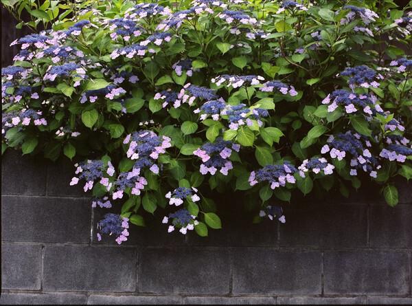 今が見頃の額紫陽花