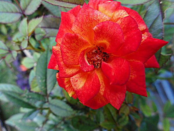 テスト赤い花 1