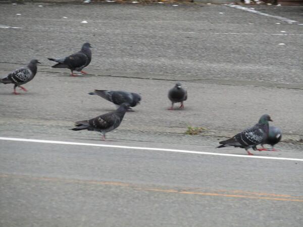 群れるのが鳩の習性