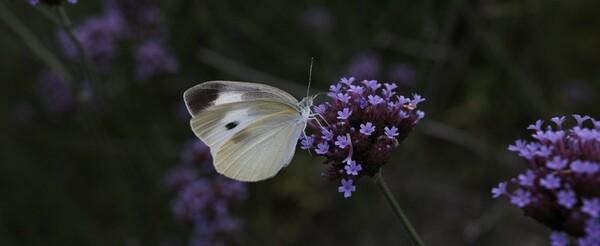ついでなる蝶撮影