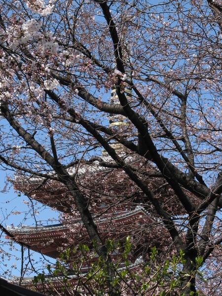 〔桜〕浅草寺