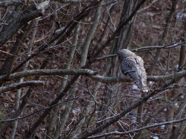 フクロウの狩り−その1