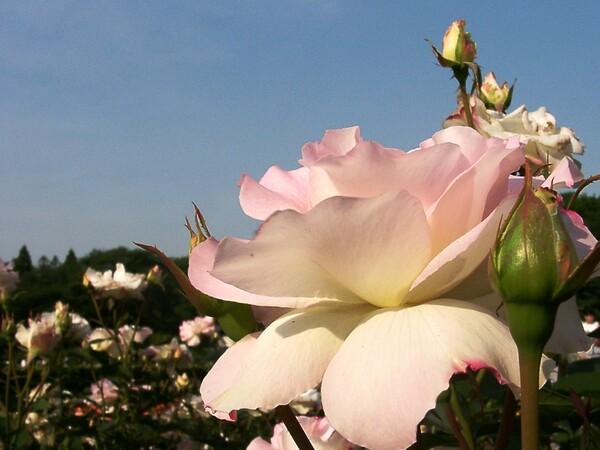 ★09春バラ・セレクション-56