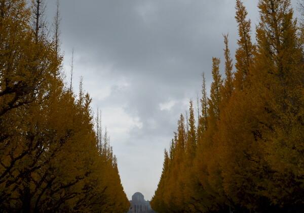 雨の神宮外苑いちょう並木