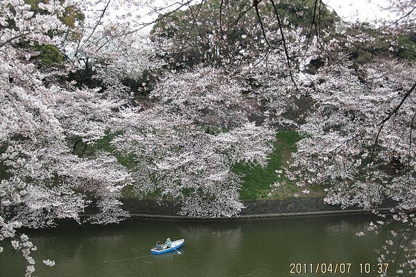 千鳥が淵の桜−2