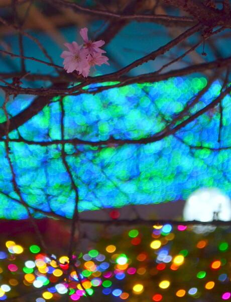 桜とクリスマスイルミネーション