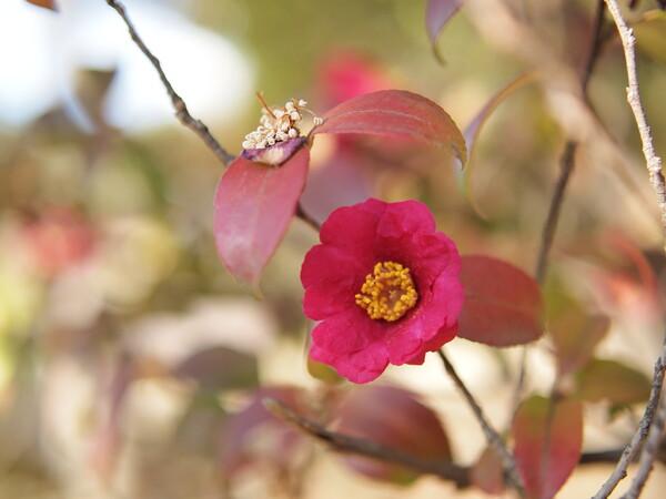 【あした】咲く花あらば