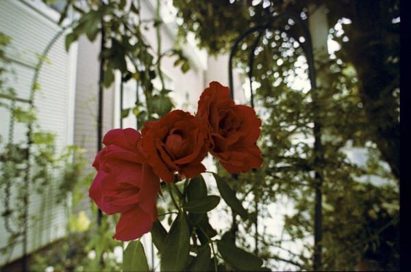 いつもの赤いバラ