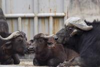 アフリカ水牛