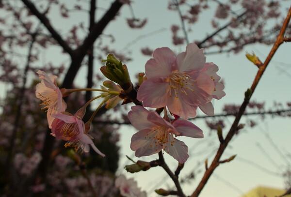 都心の河津桜
