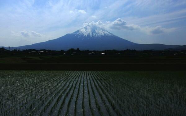 富士の見守る稲作