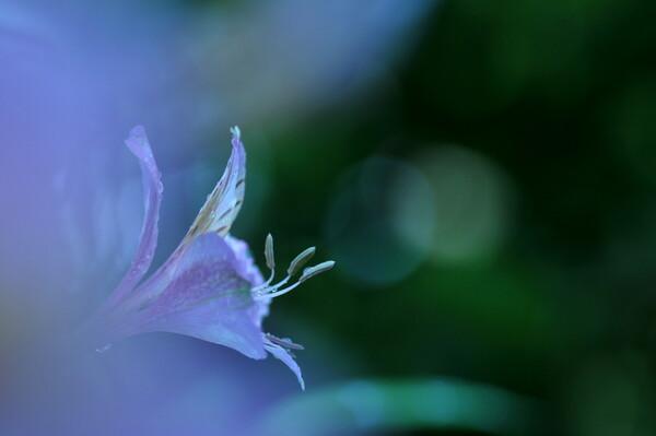 アリストロメリアが庭で咲きました