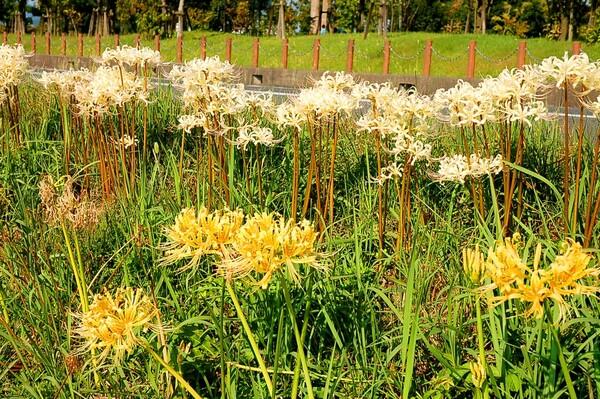 白と黄色の彼岸花
