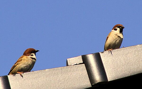 屋根に留まる雀