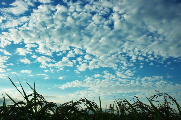 流れる雲なびく稲