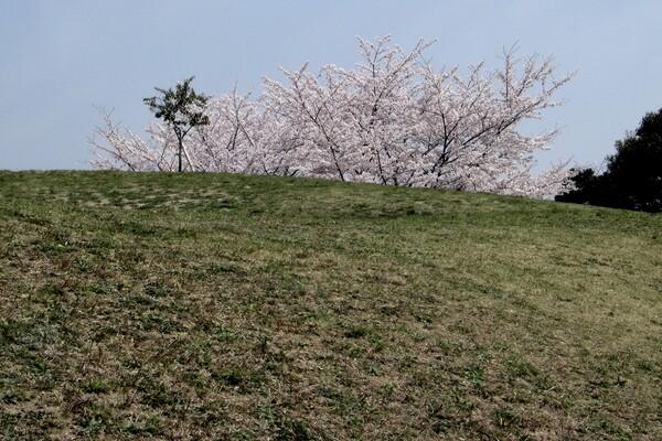 【花のある情景】桜・お花見場所取り・いちばんのりだぁ!