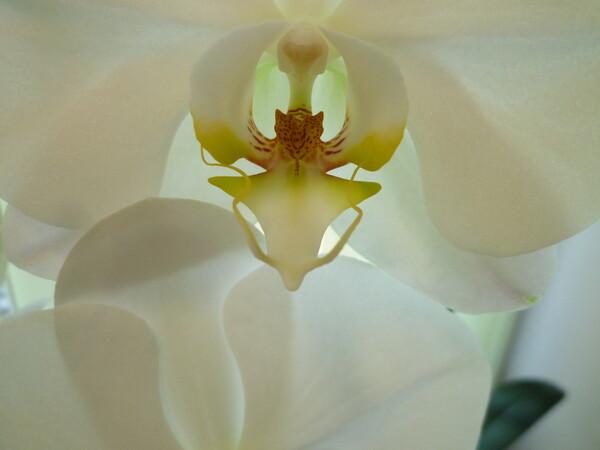 シンビジウム白花